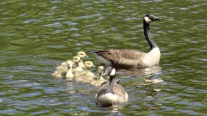 proud geese with babies