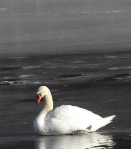 Swans symbolize Love Grace Union Purity Beauty Dreams Balance Elegance Partnership Transformation