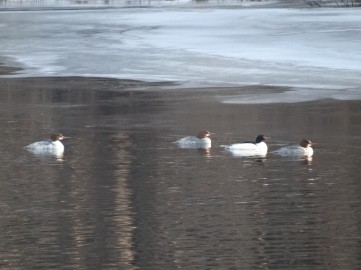 Arrival of the Common Mergansers.