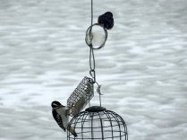 Waiting for a turn at the suet.