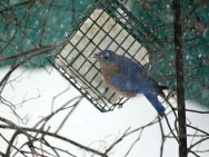 Finally getting a turn at the suet.