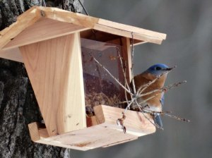 Bluebird eating very expensive mealworms.