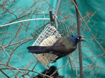 grackle eating suet
