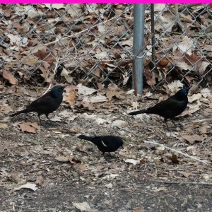 grackles with red winged