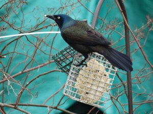 stunning grackle