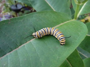 Monarch butterfly caterpillar.