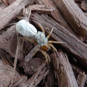 Mama spider with empty egg sack and infant spiders clinging to her back.