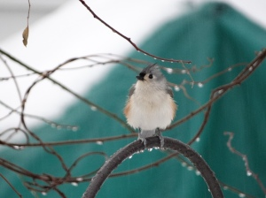 Tufted titmouse, waiting his turn at the suet feeder.