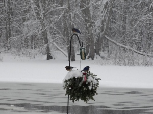 Bluebirds sharing the suet.
