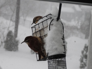 Carolina wrens at the feeder outside my bedroom window.
