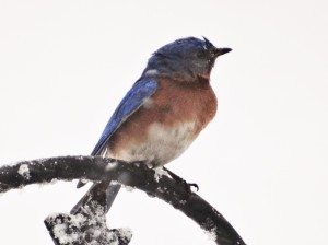 A hardy bluebird, enduring the early Spring snowfall.