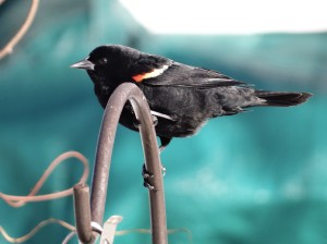 Male red-winged blackbird. Not quite in full regalia yet.