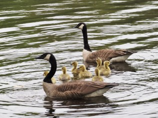 ... and more goslings.