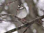 White-throated sparrow, 2016.