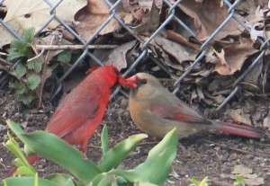 Northern cardinals