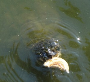 snapping turtle, snapper, turtles