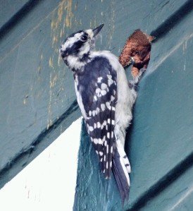 downy woodpecker, nesting woodpecker, woodpecker building nest in house, female down woodpecker