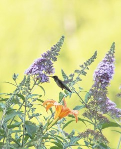 ruby-throated hummingbird-songbirds of new england-butterfly bush-hummingbirds