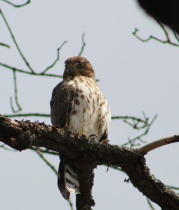 Cooper's hawk, hawks of massachusetts, coopers hawk