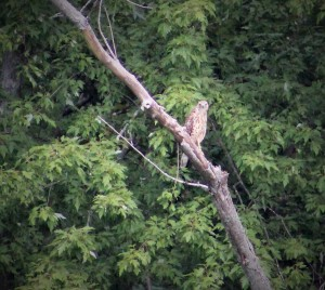 red-tailed hawk-hawks of New England-hawk-hawks