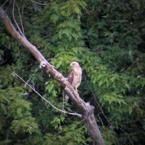 red-tailed hawk-hawk-hawks of New England