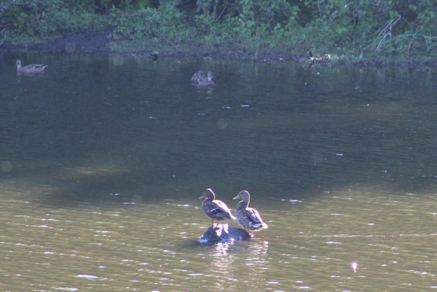 Mallard pair-Mallards-pair of ducks