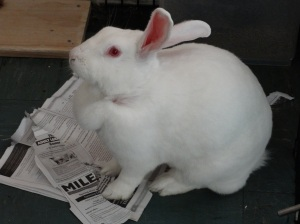 white rabbit-female rabbit