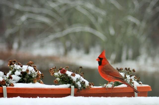 Northern Cardinal - birds - songbirds