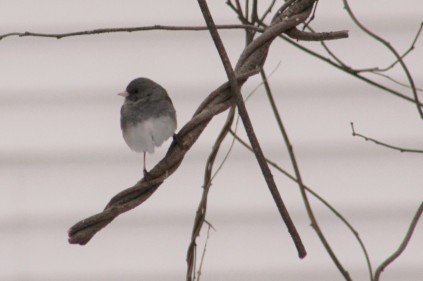 Female slate-colored junco.