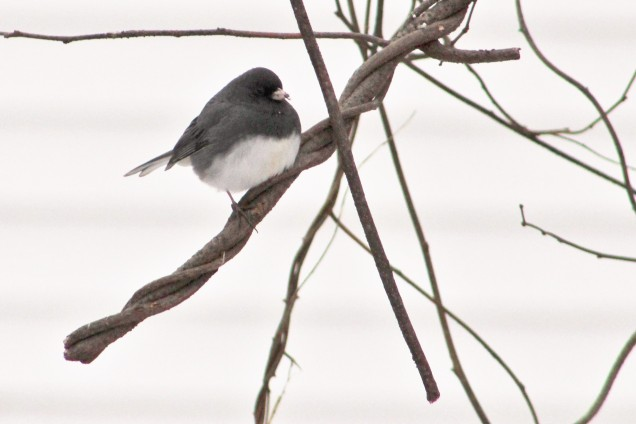 Male slate-colored junco.