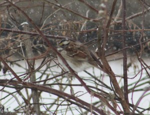 songbird-white throated sparrow-sparrows of new england