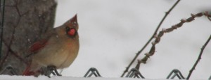 female Northern cardinal-songbirds-cardinals-winter birds