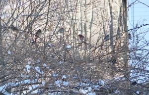 songbirds of new england-eastern songbirds