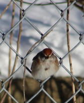 Male chipping sparrow.