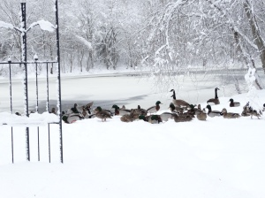 ducks in snow-snowstorm Stella-blizzard
