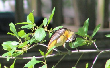 Female Baltimore Oriole.