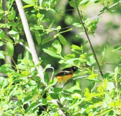 Male Baltimore Oriole.