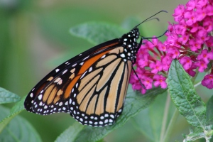 Monarch butterflies-insects-butterfly