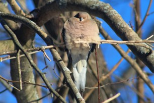 songbirds-morning dove