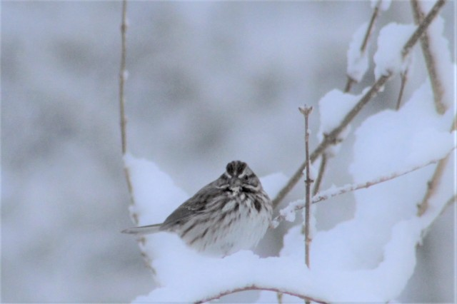 songbird in the snow