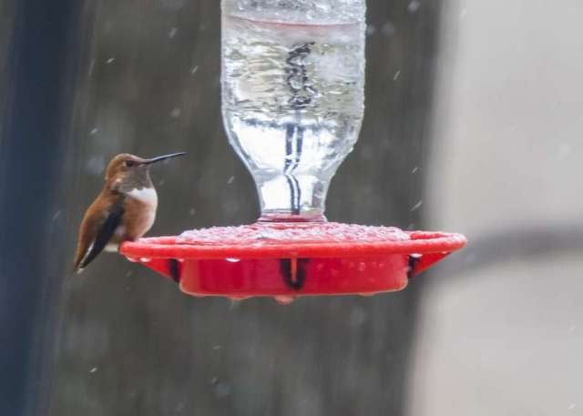 Hummingbird at frozen feeder