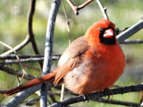songbird-cardinal-red birds-birds-songbirds-birds of new england-