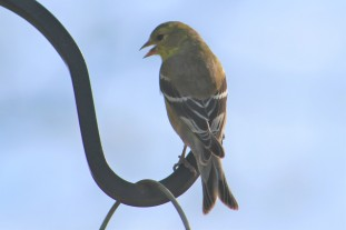 American goldfinch, songbird, yellow birds, finches, goldfinches