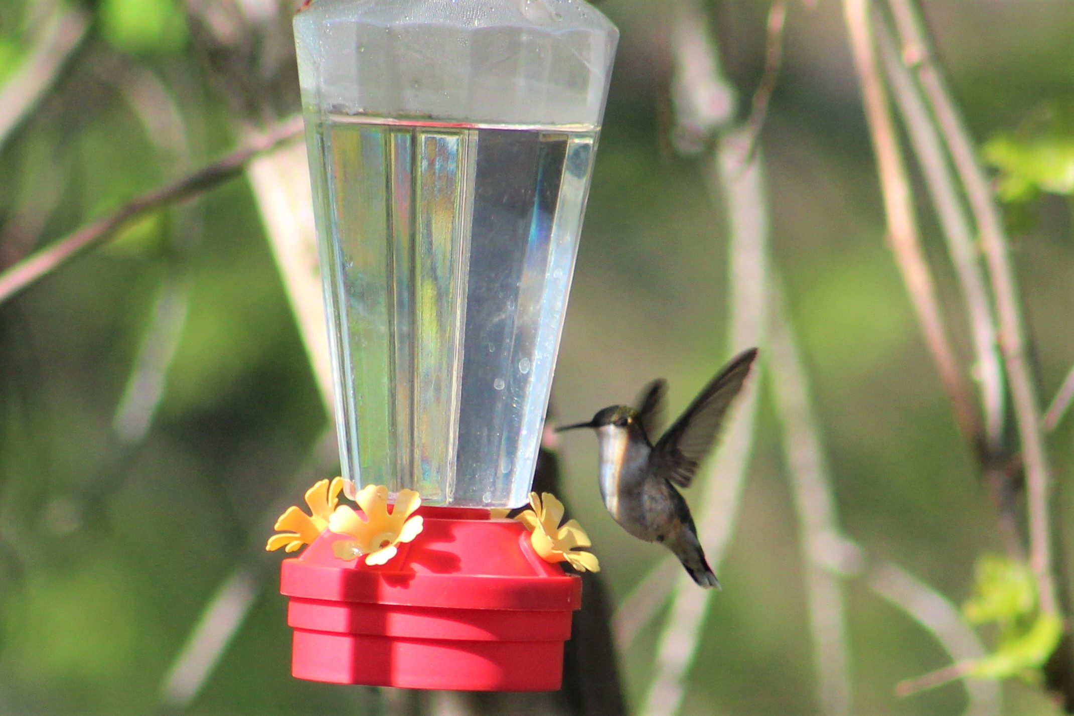Ruby-throated-hummingbird-songbird-birds-animals