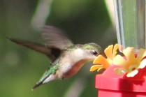 ruby_throated hummingbird-female hummingbird-hummingbirds-nectar feeder-hummingbird drinking nectar