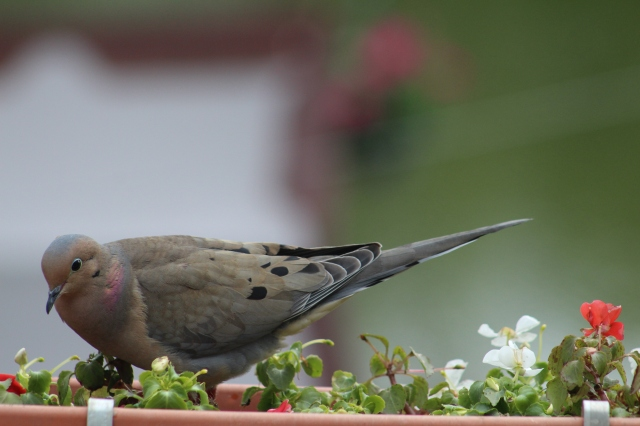 mourning dove-songbird-pigeons-doves-brown birds