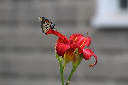 Monarch butterfly on day lily.