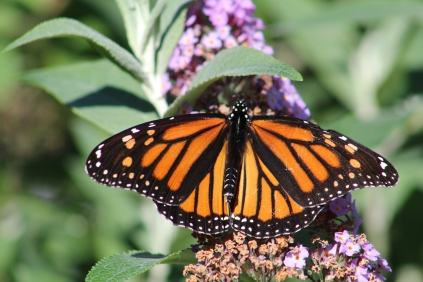 Monarch butterfly on a butterfly bush, of course.