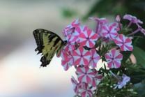 Swallowtail butterfly on a garden phlox.