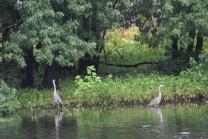 Double herons.